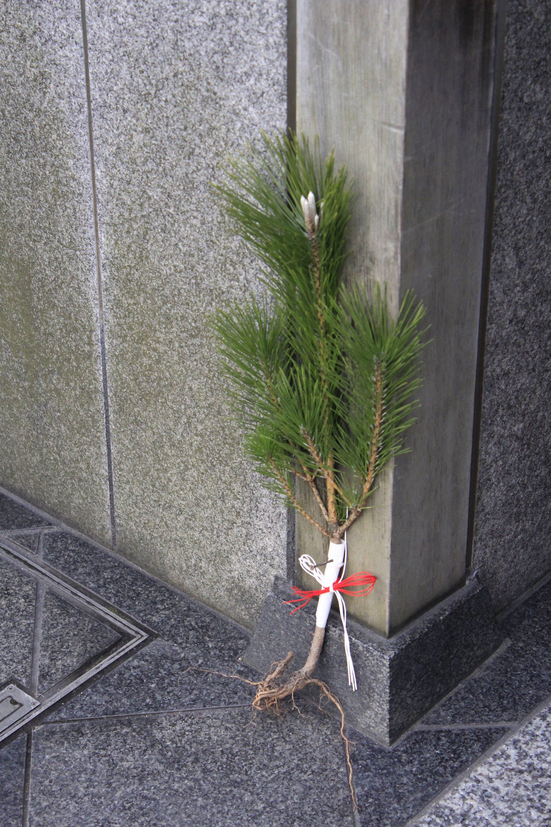 十二段屋さんの玄関に根が付いた松飾り